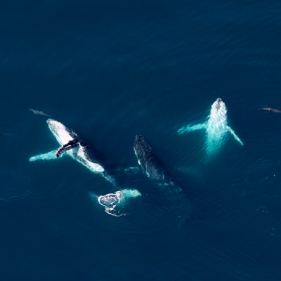 Humpbacks whales of the Ningaloo Coast